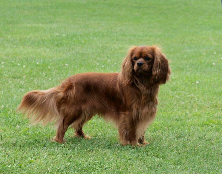 Irish Cavalier King Charles Spaniel Puppies Photos